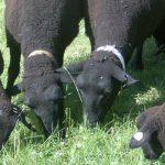 Bio-dünger kommt vom Schaf